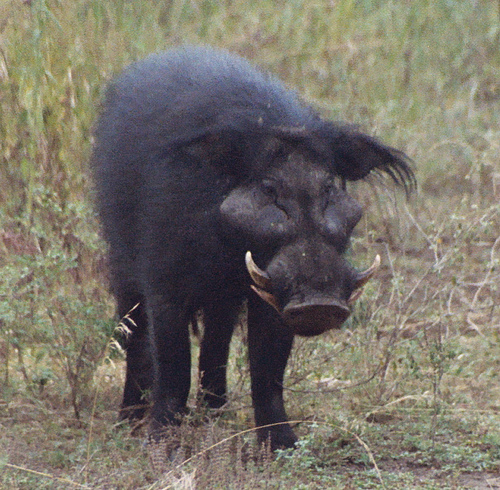 Another Fable: The Ugly Hog – Change For Health Giant Wild Boar Photos